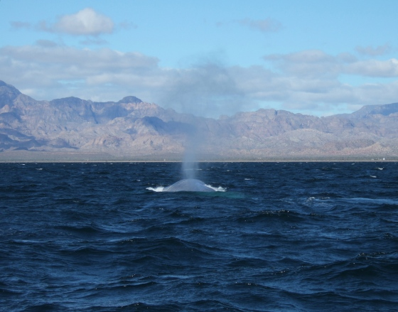 Blue Whale in San Ignacio, Baja California