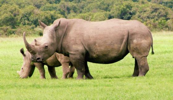6_mpala_white_rhino.jpg - www.ecology.com